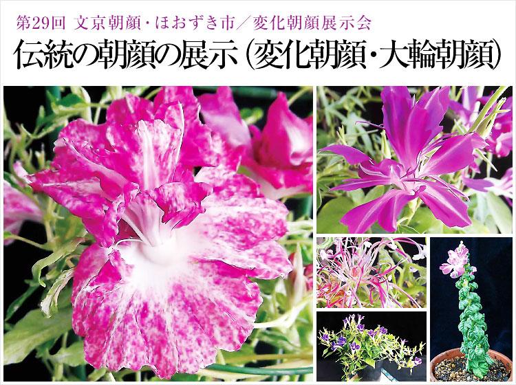 「第29回 文京朝顔・ほおずき市」「変化朝顔展示会」